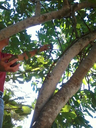 Skyline Wilderness Park: Picking figs