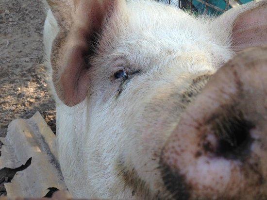 Agriturismo la Roccia: maiale