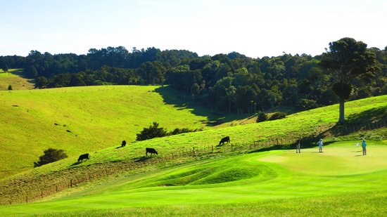 The Lodge at Kauri Cliffs : Golfers putting on the green next to Angus cows!