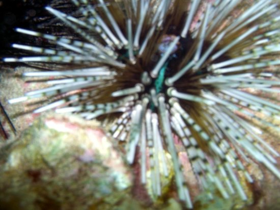 Mosquito Island: ...giant sea urchins