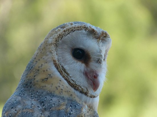 Radical Raptors: barn owl