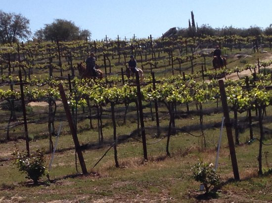 Vineyard Trail Rides : What a breath taking experience through the vineyards of Milagro farm vineyards and winery!