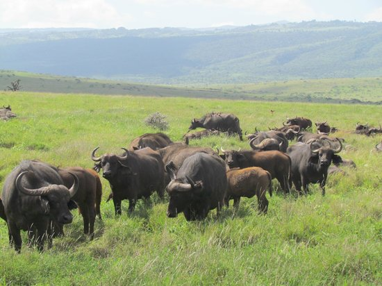 Lewa Wildlife Conservancy: Cape buffalos
