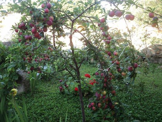 Turismo Rurale la Rocca: albero di prugne in giardino