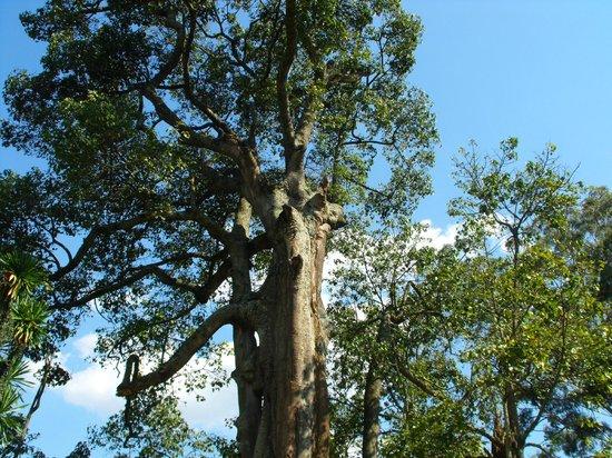 Uganda Safari Day Tours: il bellissimo e imponente albero