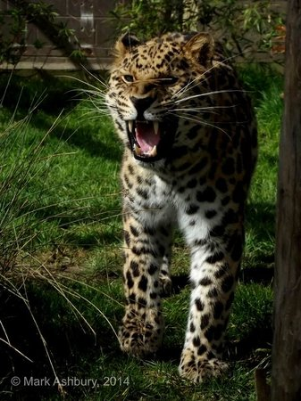 The Big Cat Sanctuary: Take great shots from the business-end of a Leopard !