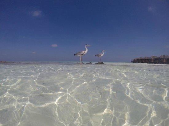 Fihalhohi Island Resort : Water birds and water bungalows