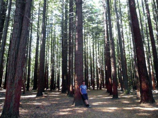 Redwoods, Whakarewarewa Forest: 3 sequoie