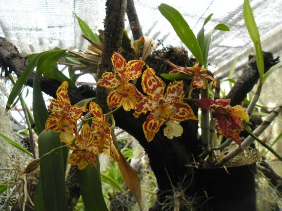 Pregetter's Orchid Garden: Outra bem pintadinha