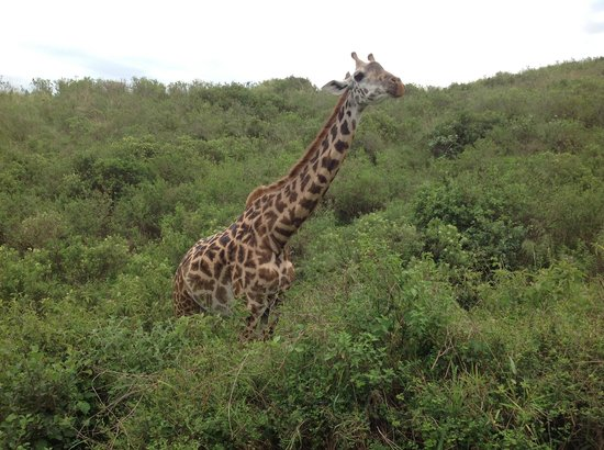Arusha National Park: The giraffes came very close