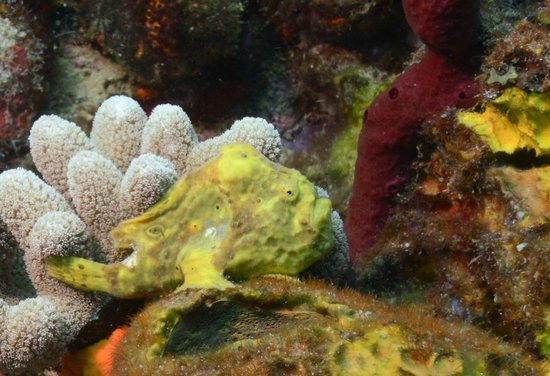 Dive Dominica : frog fish