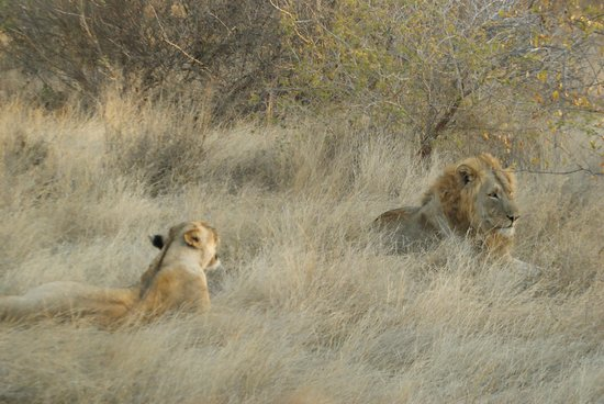 Naledi Bushcamp and Enkoveni Camp : A couple of lions
