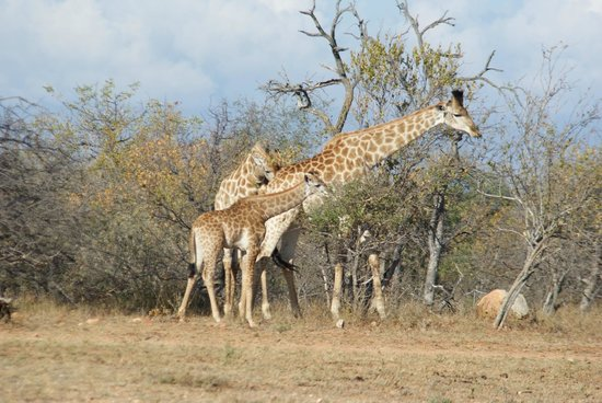 Naledi Bushcamp and Enkoveni Camp: Giraffes of all sizes