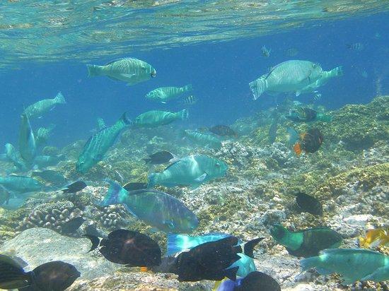 Embudu Village: Turqoise parrott fish