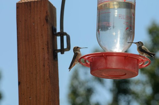 Silver Fork Lodge & Restaurant: Hummingbirds out on the patio, bring your camera