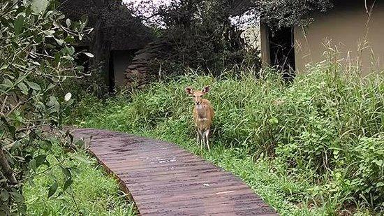 Lion Sands River Lodge: A bush buck near our room