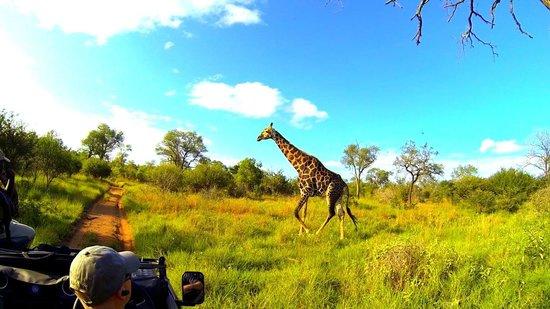 Lion Sands River Lodge : A giraffe crosses our path
