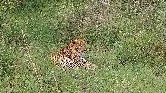 Lion Sands River Lodge : Leopard resting