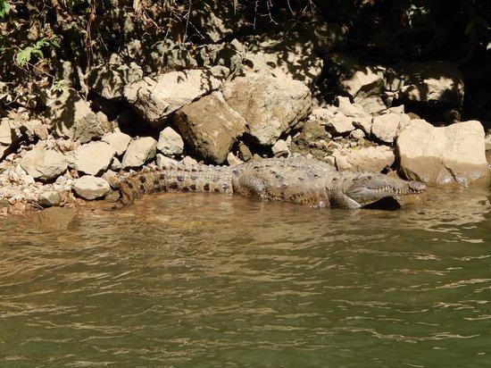 Cañón del Sumidero: alligator