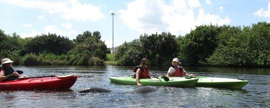 Karen's Kayaks: Manatees!