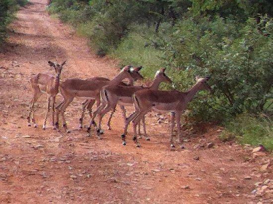 Mokolodi Nature Reserve : Passing impala herd