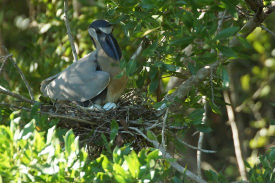Rio Lagartos Adventures: Boat-billed heron on eggs - near a small road