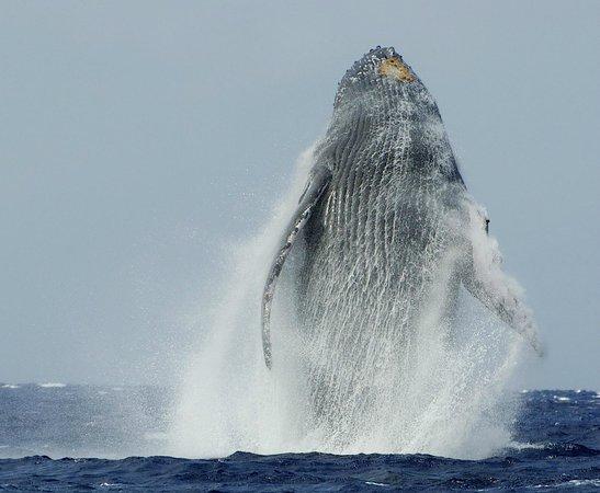 Hawaii Ocean Rafting : breaching giant