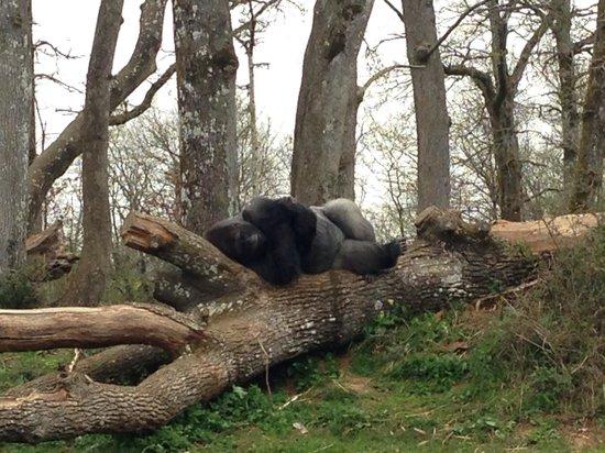 La Vallee des Singes : La sieste du gorille