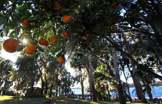 Oranges grow on the banks of the St. Johns River in Welaka. Daron Dean for VISIT FLORIDA