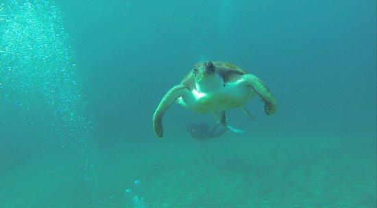 Blue Bottom Diving: Turtle at El Puertito