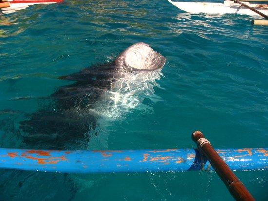 Amorita Resort: Whaleshark in Oslob