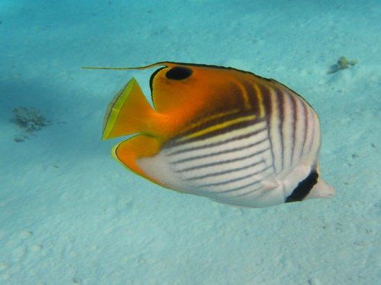 Eleuthera Bora Diving Center: Poisson-papillon cocher