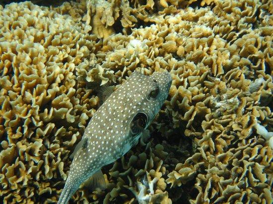 Eleuthera Bora Diving Center: Poisson-ballon à épaules noire