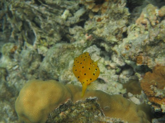 Eleuthera Bora Diving Center: Poisson coffre jaune