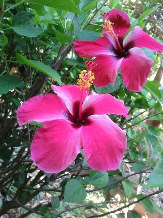 Hotel Chillies: Blooming Hibiscus on our last day there