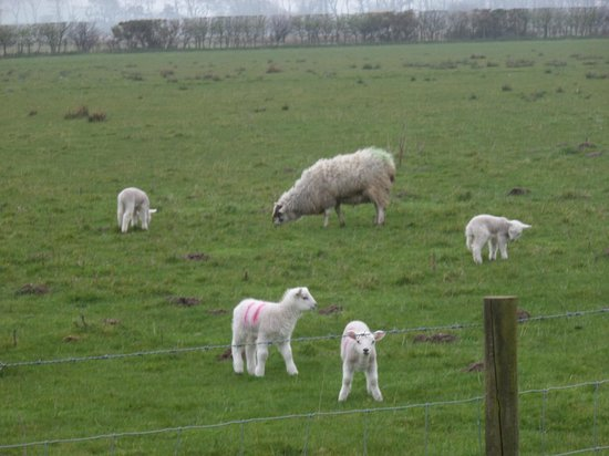 newborn Spring Lambs at Hunterston, North Ayrshire