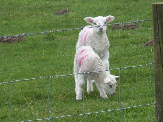 North Ayrshire, UK: newborn Spring Lambs at Hunterston, North Ayrshire