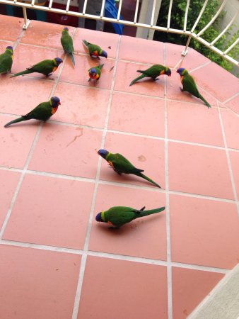 Martys at Little Beach: The lorikeets on our balcony eating the grapes and plums we had for them