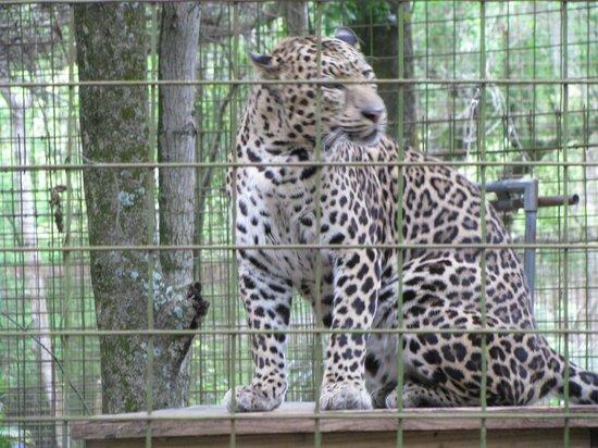 Big Cat Rescue: Leopard