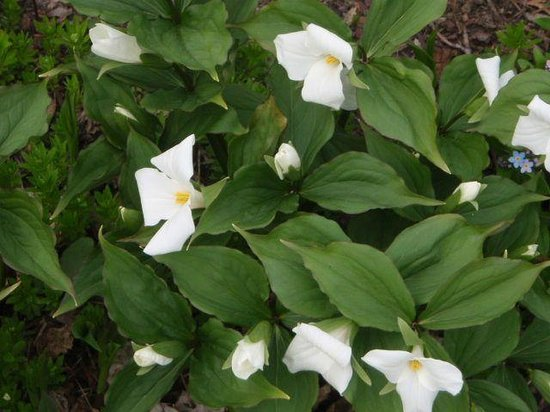 Sauble Falls Bed & Breakfast: Trilliums - Ontario's provincial flower (we have red Trilliums too!)