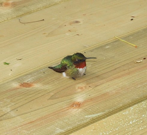 Sauble Falls Bed & Breakfast: Baby hummingbird rests on our new deck