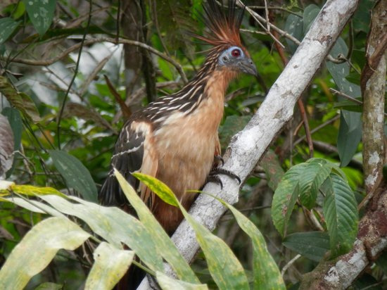 La Selva Amazon Ecolodge : Award-winning Hoatzin photo