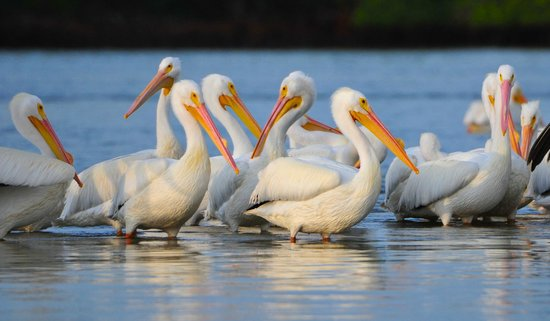 "Gulf Coast Limited Fishing Charters: Snow Birds ""White Pelicans"""