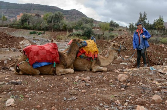 Atlas and Sahara Day Tours : Our camels for the morning!