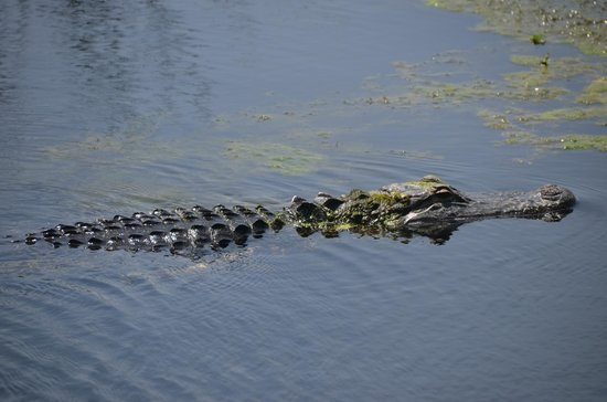 Green Cay Nature Center and Wetlands: i think this is a alligator