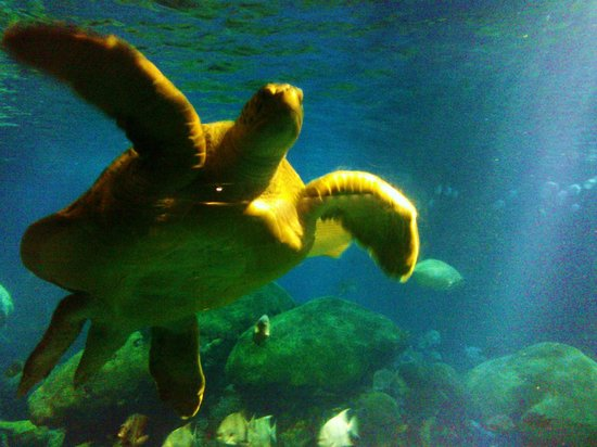 Tennessee Aquarium : Sea turtle