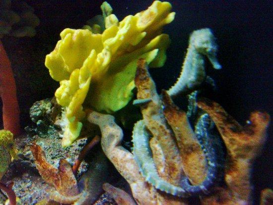 Tennessee Aquarium: Sea Horse