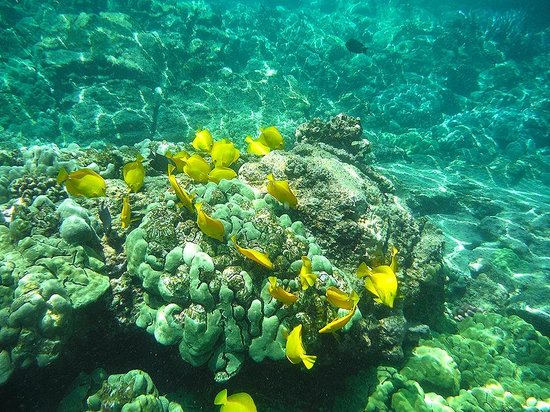 Hawaii Pack and Paddle Day Tours: Colorful Tang fish feed on the reef
