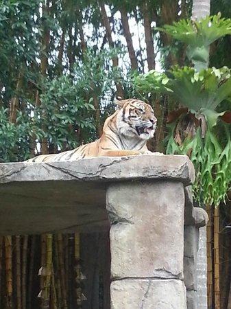 Australia Zoo : The Tigers were my favourites !