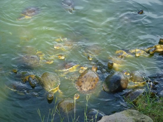 El Cid Castilla Beach Hotel: Turtles by pond in golf course
